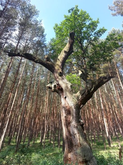 Naturdenkmal Koenigseiche Sonnenberg2015 Baumriese geht zu Boden