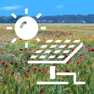 Gerstenfeld mit Segeltalflora bei Gräbendorf (© Bildarchiv NABU Dahmeland)
