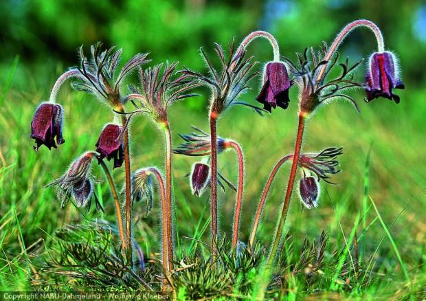 Pulsatilla pratensis Naturprak Dahme Heideseen 620x438 Ausstellung gedruckt, geschickt, gepflanzt   Pflanzen in Miniatur, Pflanzen in Natur