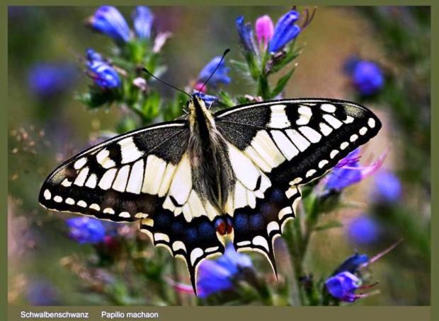 Schwalbenschwanz Kraemer 620x454 Ausstellungseröffnung Unsere wunderbare Insektenwelt   gespiegelt im  Fotoformat von Anneli Krämer