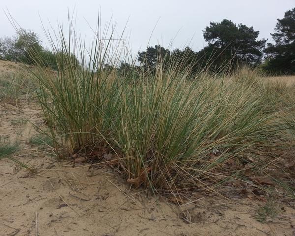 Strandhafer web Eine Wanderung zur Binnendüne Waltersberge bei Storkow