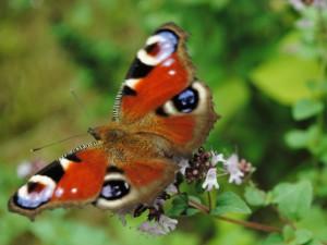 Majoran auch Oregano genannt, ist im Garten ein herrliches Gewürz und ein Schmetterlings-Anziehungspunkt