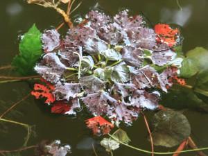 Wassernuss (Foto: NABU/ S.Runge)