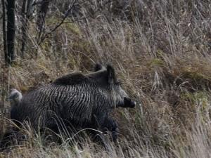 Wildschwein © Klaus Weber