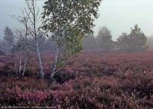 Heide im Nebel (Foto: W. Klaeber / www.bildarchiv-nabu-dahmeland.de)