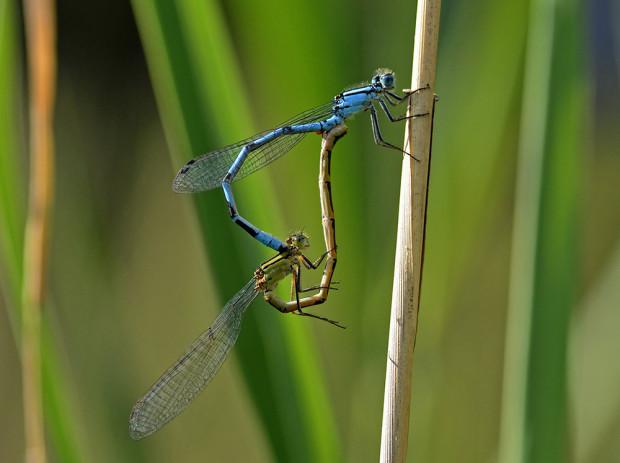 libellenhochzeit b97e3b6a 53d4 4377 a78e ccde3c926267 620x463 Die Wunderwelt unserer heimischen Schmetterlinge, Libellen und Käfer