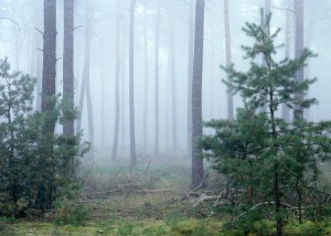 Kiefernwald im Nebel (Foto: Sonnenberg)