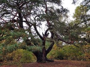 Naturdenkmal Malerkiefer bei Storkow (Foto: Sonnenberg)