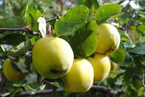 Früchte am Obstbaum (Hans Sonnenberg)