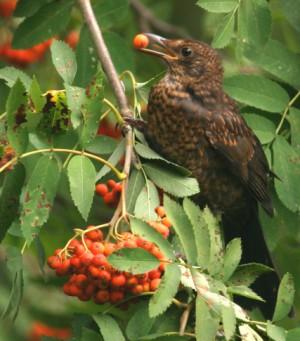 Amsel vernascht Früchte der Eberesche