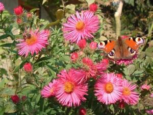 Besuch im Garten - Schmetterling auf Asternblüten (Foto: Kamilla Sonnenberg)