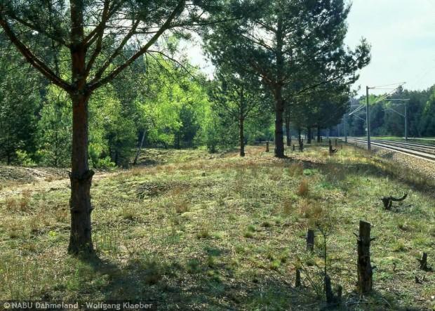 npdh blauschillergrasrasen an der bahn   w.klaeber 620x443 Seltene Trockenrasenpflanzen kehren zurück