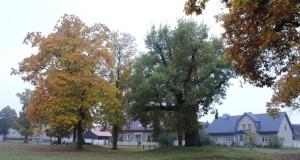 Dorfanger von Bugk. Zwischen Rot-Eichen steht das Naturdenkmal Stiel-Eiche
