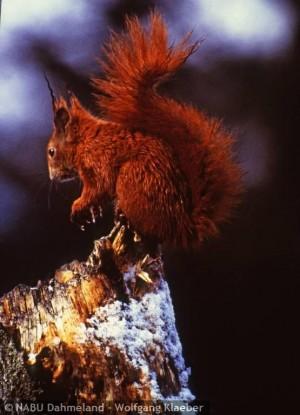Eichhörnchen (W. Klaeber)