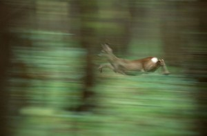 Rehbock im Sprung © Klaus Weber