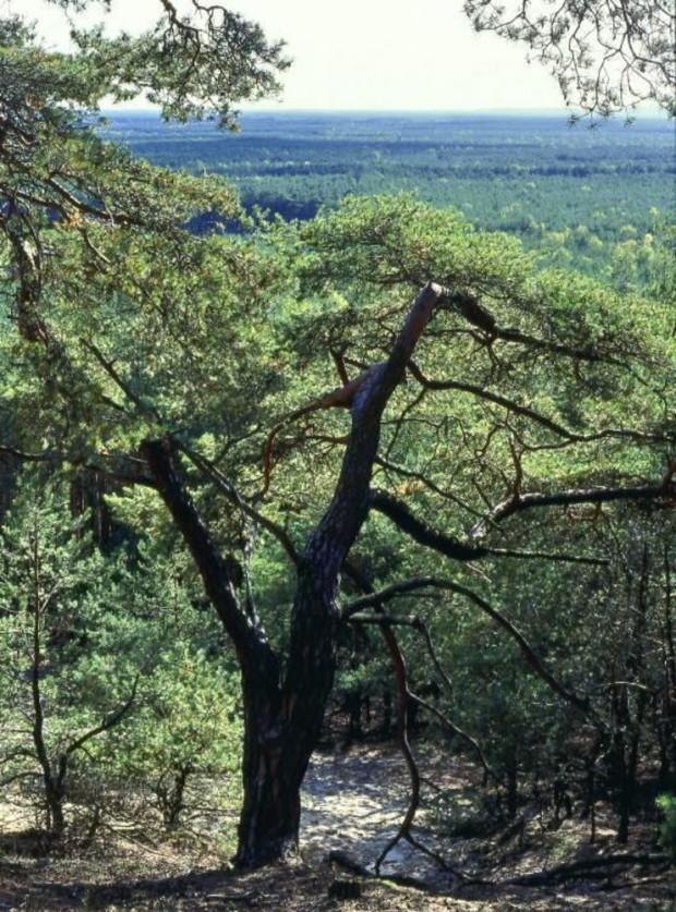 npdh streganzberg Kiefenhang klaeber 620x837 Ehemaliges Sperrgebiet Streganz im Naturpark Dahme Heideseen wird zum Nationalen Naturerbe