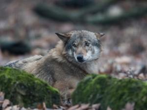 Wolf - Tiergehege-Aufnahme (Foto Klaus Weber)