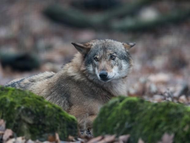 npdh wolf klaus weber 620x465 Familie Wolf – Gefährliche Nachbarn? im Waldkino Hammer