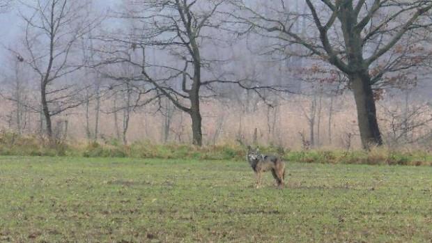 npdh wolf storkow1 Erhard laube 620x349 Fotograf trifft Wolf