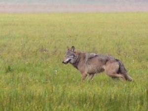 Wolf (Erhard Laubee)
