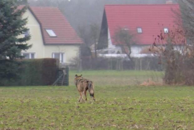 npdh wolf storkow4 Erhard laube 620x414 Fotograf trifft Wolf