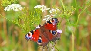 "peacock butterfly 1526939 1280 300x169 Rezept des Monats mal ganz anders: ""Bienenfutter"""