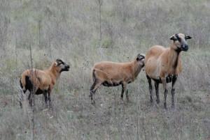 Schafe sind unerstezliche Helfer zum Erhalt der Trockenrasen (Foto: Sonnenberg)