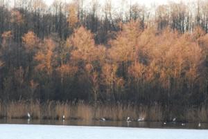Silberreiher am Küchensee bei Storkow (Foto: Naturpark/Hans Sonnenberg)