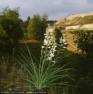 Trauben Graslilie in Pätzer Kiesgrube (© NABU Dahmeland Bildarchiv)