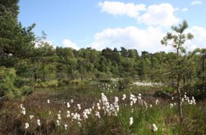 Wollgrasblüte im Presseler Heidewald- und Moorgebiet