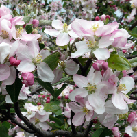 Apfelblüte 2 (C) Lutz Döring