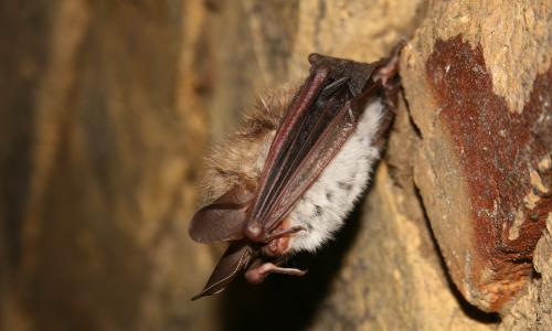 Bechsteinfledermaus im Winterquartier Foto VDH Fledermäuse in der Dübener Heide entdecken