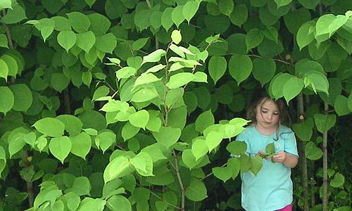 Fallopia japonica japanischer Staudenknoeterich Foto Gavcommonswiki Vortrag im NaturparkHaus: Fremde Pflanzen in der Heide   Chance oder Risiko?