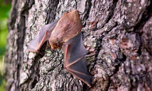 Fledermaus1 Heidesonntag zur Fledermaus am 7. Oktober im Haus am See