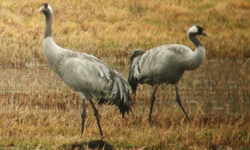 Götterboten Die Göttervögel sind da: Auf zur Kranichschau im Naturpark Dübener Heide