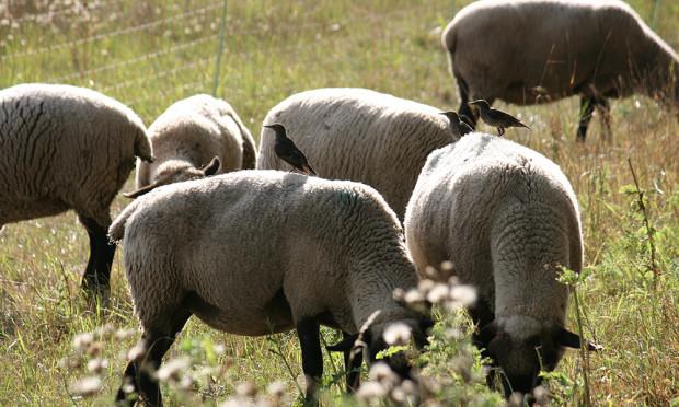 Herdenschutz Foto Janine Meißner 500 300 620x372 Reminder: Workshops zum Thema Herdenschutz am 4. und 5. Juni in der Dübener Heide