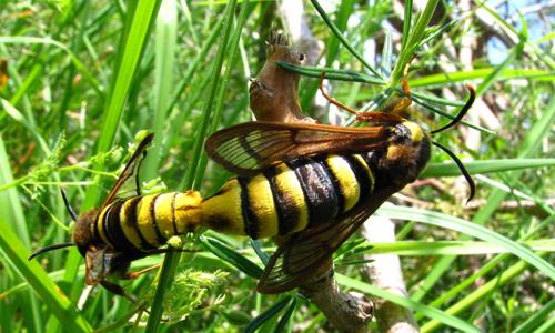 Hornissenschwärmer1 Heidesonntag im Haus am See: Streifzug durch das Jahr der Insekten