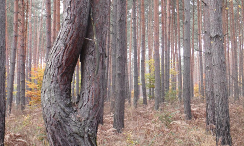 Sirxbachaue Tour 065 Erster Wildtiersonntag 2015 führt an skurrile Bäume