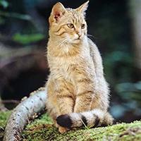 Europäische Wildkatze (C) BUND/Thomas Stephan