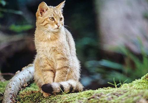 Wildkatze Foto Thomas Stephan BUND 500 350 Pssst, die Wildkatze ist zurück! Themenwanderungen und Sonderausstellung im NaturparkHaus