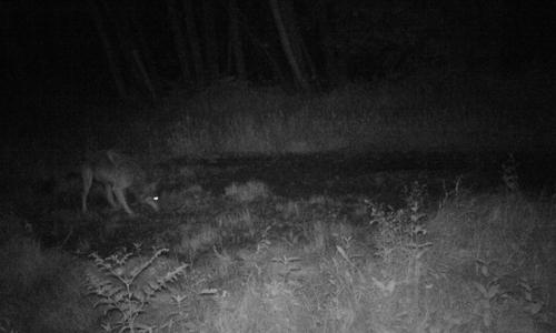 Wolf Fotofalle schnappt zu: Erster Wolf in der Dübener Heide nachgewiesen
