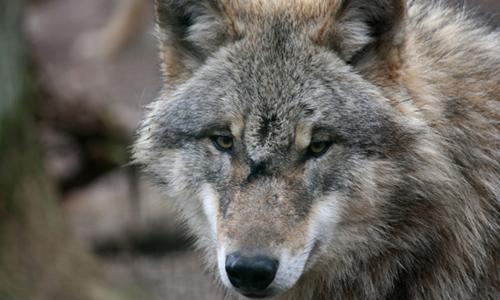 Wolf1 Was tun, wenn man einem Wolf begegnet?