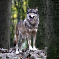 Wolf (C) Lutz Döring