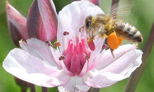 nabu honigbiene an schwanenblume helge may3 Einblick in die Welt der Bienen, Wespen und Ameisen