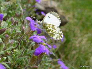 10 Aurorafalter Go weilbl 300x225 Do, 19.04., 19   22 Uhr: Blütenreiche Landschaft – vielfältiger Lebensraum