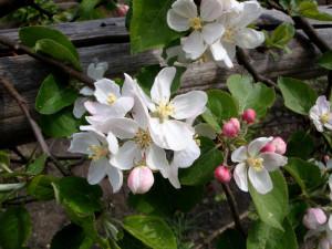 Apfelblüte_Go