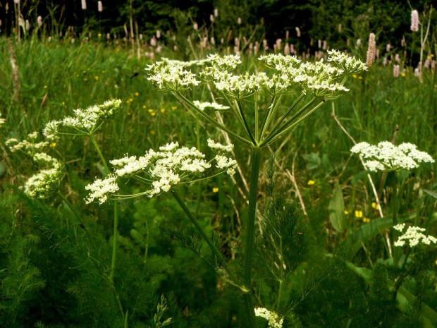 Bärwurz Schönlind Weißenstadt 5 08 froheu kor 620x465 Di, 07.06., 17.30 19.30 Uhr: Power Kräuter für unser Wohlbefinden (Pflanze des Monats)