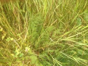 Bärwurzin altem Gras
