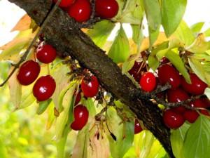 Cornus mas Früchte Go 300x225 Sa, 08.09., 14 Uhr: Vogelbeere, Kornelkirsche, Schlehe: Perlen der Natur (Pflanze des Monats)