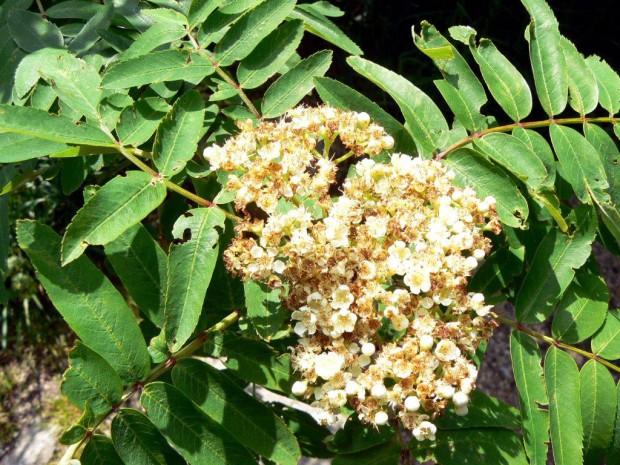 Eberesche 620x465 Sa, 09.09., 14 Uhr: Vogelbeere, Kornelkirsche, Schlehe: Perlen der Natur (Pflanze des Monats)
